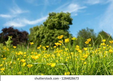 Summer buttercup field