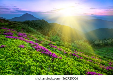 summer Carpathian landscape with rhododendron flowers, Carpathian mountains, Ukraine, Europe
