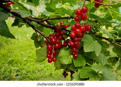 Summer. Close-up of a red currant in fruit garden