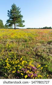 Summer colors in a yellow and purple field in a nature reserve at the island Oland in Sweden