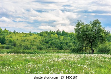 summer countryside in mountains. tree on a fluffy dandelion flower meadow. cloudy morning sky. hill in the distance.
