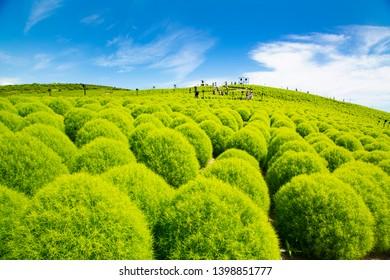 Summer cypress field in Hitachi seaside park