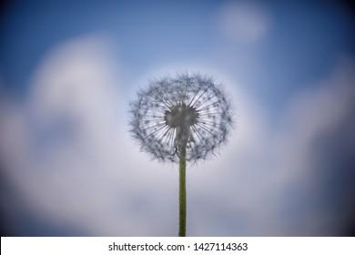 Summer dandelion flower on sky background