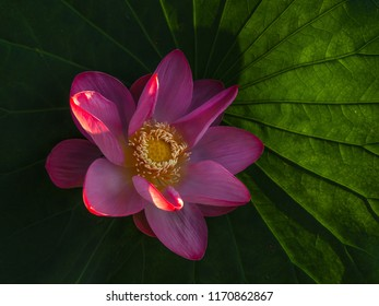 Summer dawn. Lotus nut-oil (Latin Nelumbo nucifera). The species is listed in the Red Book of Russia. The Nile River of the Volga Delta. Astrakhan State Biosphere Reserve, Damchik site.