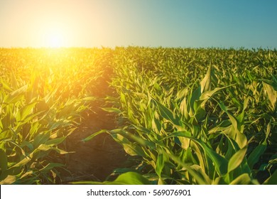 Summer day highlights the agricultural field, which is growing in neat rows, high, green, sweet corn.In the background the sun shines.The family of cereals and grain crops.