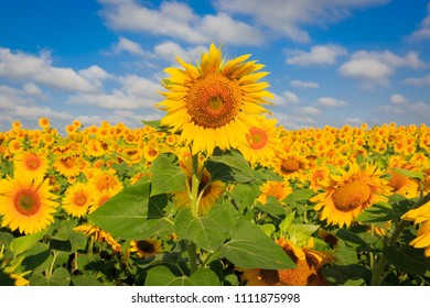 summer day on sunflowers meadow