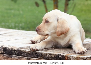summer day, the yellow labrador puppy lies on the boards and looks at the side old boards with good texture