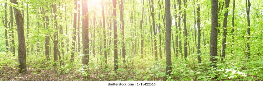 Summer deciduous beautiful fresh green forest. Panorama.