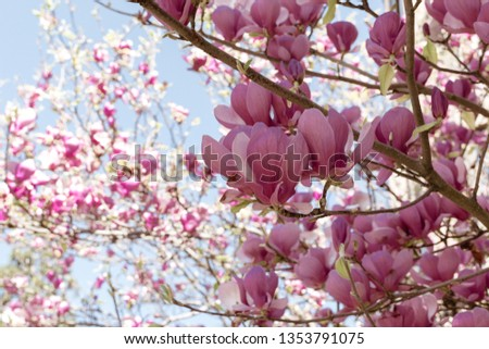 Summer Easter Background Beautiful Magnolia Flowers Stock Photo