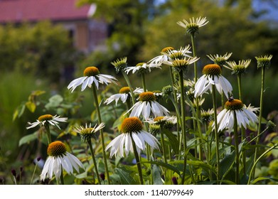 Summer Echinacea flower in the afternoon, Echinacea purpurea