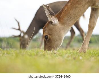 Summer. Farm. Field. Young deer eating grass