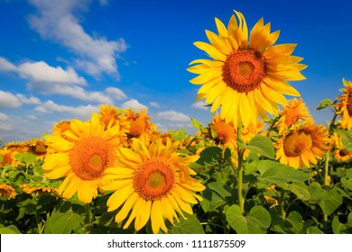 summer farming field with sunflowers in sunny day