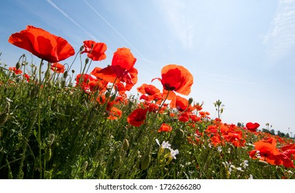 Summer feeling, beauties of summer: Detailed close-up of red poppy blossoms in the summer, Palatinate in Germany, Europe