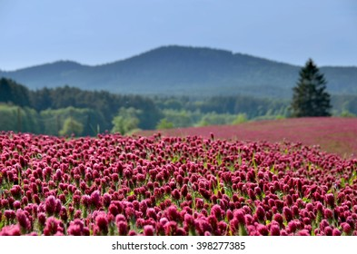 Summer field. Blooming landscape with crimson clover.  Spring background.
