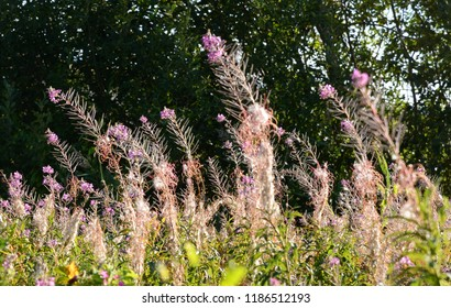Summer field with blooming purple fireweed flowers.