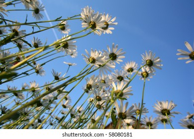 Summer field carpeted with wild daisy's photographed from below.
