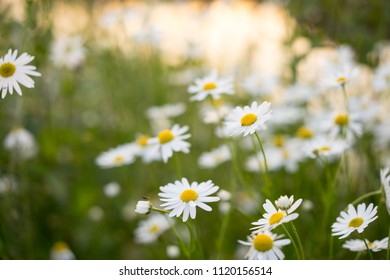 Summer field of daisy flowers, meadow chamomile flowers