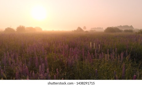 Summer field of flowers at sunrise, fog, drone aerial view of morning fog over the field of lupins. Summer warm moody background