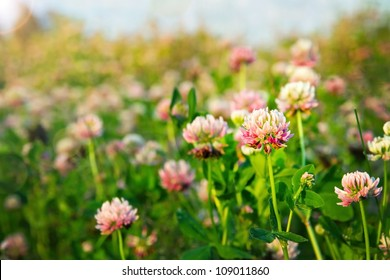 Summer field of pink clovers in the evening sunlight, selective focus