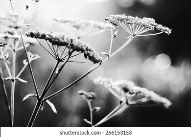 Summer field plants in morning dew. Macro. Bokeh. Black and white photo