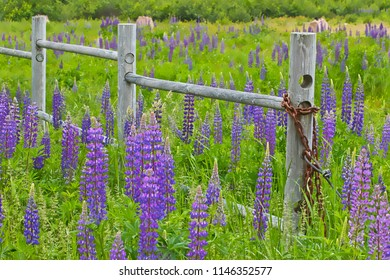A summer field of purple lupines with a rickety wooden fence