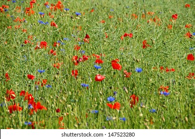 Summer field with red and blue flowers