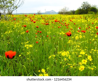 summer field tulpan and colza very beautiful