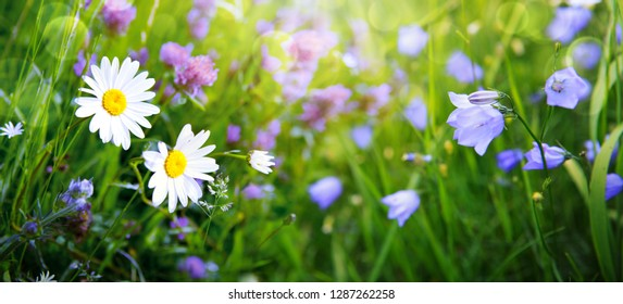 Summer field with white daisies and campanula flowers.