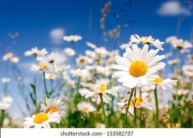 Summer field with white daisies on blue sky. Ukraine, Europe. Beauty world.