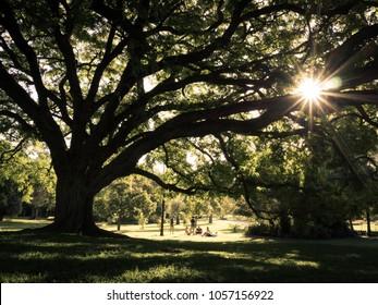 summer fig tree