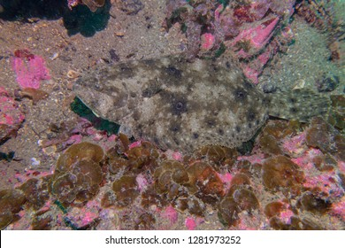 Summer flounder resting on the seabed at the wreck of the S.S. Caribbean off Beaufort, North Carolina.
