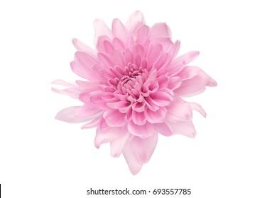 summer flower: chrysanthemum isolated on white background