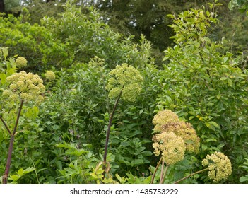 Summer Flower Heads of Angelica archangelica in a Permaculture Garden at Tapeley Park in Rural Devon, England, UK