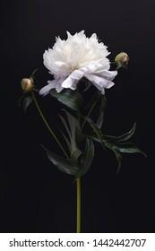 Summer flower Peony Vertical Print. Beautiful white peony on black background.   - Shutterstock ID 1442442707