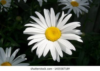 Summer flower, the Shasta Daisy closeup
