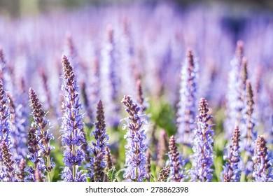 Summer flowerbed of beautiful blooming bright purple woodland sage flower (Salvia nemorosa) on blurred background