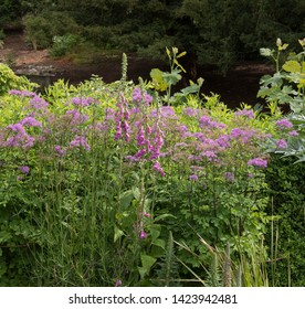 Summer Flowering Common Foxgloves (Digitalis purpurea) and French Meadow Rue (Thalictrum aquilegiifolium 'Thundercloud') in a Herbaceous Border in a Cottage Garden in Rural Somerset, England, UK