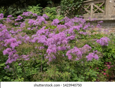 Summer Flowering French Meadow Rue (Thalictrum aquilegiifolium 'Thundercloud') in a Herbaceous Border in a Country Cottage Garden in Rural Somerset, England, UK