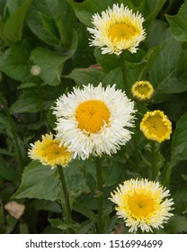 Summer Flowering Frilly Petals of the Shasta Daisy (Leucanthemum x superbum 'Real Galaxy') in a Herbaceous Border in a Country Cottage Garden in Rural Devon, England, UK