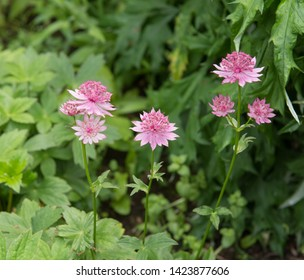 Summer Flowering Greater Masterwort (Astrantia major) in a Herbaceous Border on a Country Cottage Garden in Rural Devon, England, UK