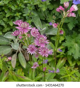 Summer Flowering Greater Masterwort (Astrantia major) Growing in a Herbaceous Border in a Country Cottage Garden in Rural Devon, England, UK