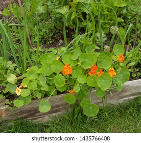 Summer Flowering Orange Nasturtium (Tropaeolum) Growing in a Permaculture Garden at Tapeley Park in Rural Devon, England, UK