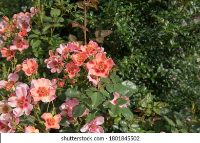 Summer Flowering Ornamental Pink Shrub Rose 'For Your Eyes Only' (Rosa 'Cheweyesup') Growing in a Herbaceous Border in a Country Cottage Garden in Rural Devon, England, UK