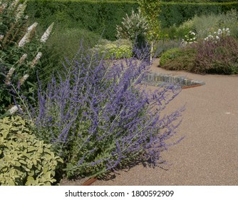 Summer Flowering Perovskia 'Blue Spire' (Russian Sage) in a Herbaceous Border in a Country Cottage Garden in Rural Devon, England, UK