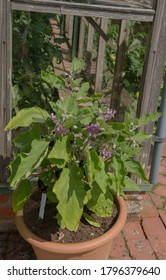 Summer Flowering Purple Flowers on an Eggplant or Aubergine Plant (Solanum melongena 'Pot Black') Growing in a Terracotta Planter by a Greenhouse in a Vegetable Garden in Rural Devon, England, UK