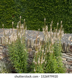 Summer Flowering Veronicastrum virginicum 'Album' (Culver's Root) Growing against a Stone Wall in a Herbaceous Border in a Country Cottage Garden in Rural Devon, England, UK