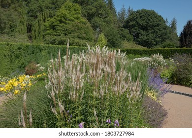 Summer Flowering White Flowers of a Culver's Root Plant (Veronicastrum virginicum 'Album') Growing in a Country Cottage Garden in Rural Devon, England, UK