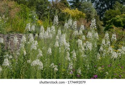 Summer Flowering White Rosebay Willowherb Plants (Chamaenerion angustifolium 'Album') Growing in a Country Cottage Garden in Rural Devon, England, UK