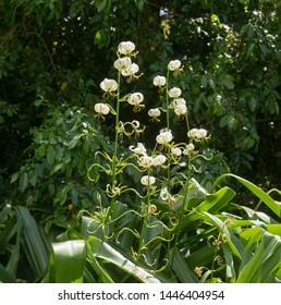 Summer Flowering White Turk's Cap Lily (Lilium martagon 'Album') Growing in a Herbaceous Border in a Country Cottage Garden in Rural Devon, England, UK