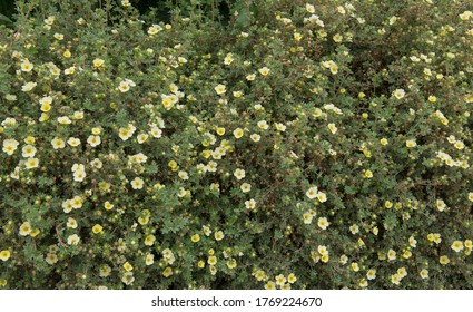 Summer Flowering Yellow Flowers on a Shrubby Cinquefoil Shrub (Potentilla fruticosa 'Limelight') Growing in a Herbaceous Border in a Country Cottage Garden in Rural Devon, England, UK
